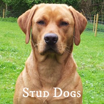 Labrador Stud Dogs