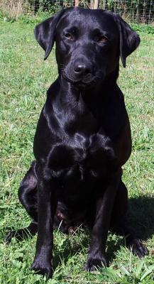 Black Labrador Bitches