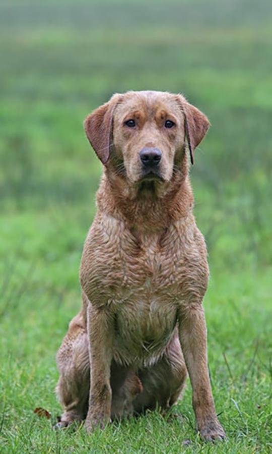 Dark Yellow Labrador Stud Dog